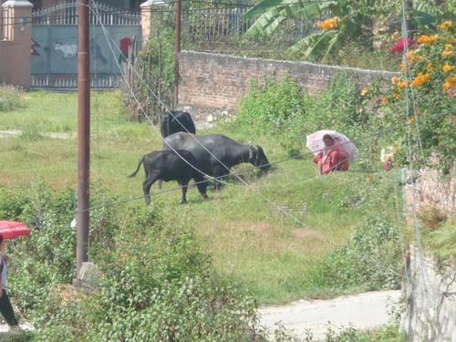 牛を飼う2