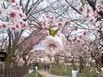アーモンド桜