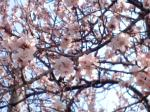 見出しの桜