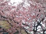 タイトル桜