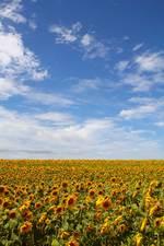 巨大ひまわり畑