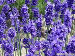 lavender_1