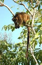 木登りカンガルー
