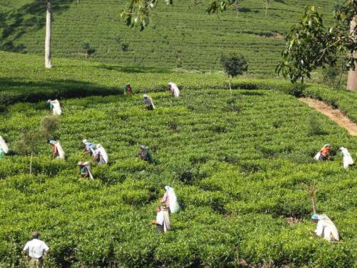 ヌワラエリヤの茶畑と茶摘の女性たち